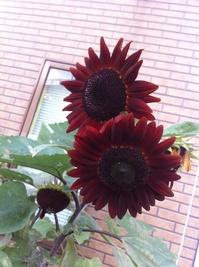 赤い向日葵.jpg
